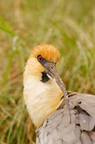 Black-faced Ibis (Theristicus melanopis) poster