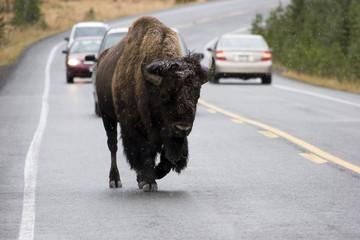 Traffic Jam mit Büffel