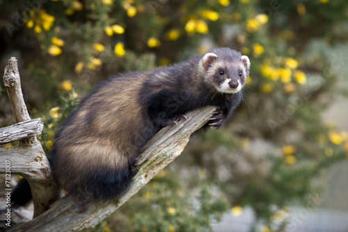 Polecat climbing on a branch