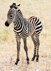 An adorable baby Zebra stading.