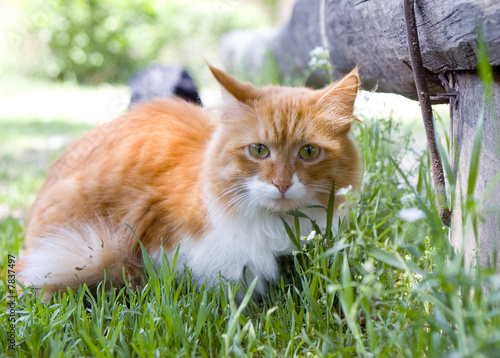 Cat take a walk on the grass close up