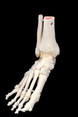Left side front of foot skeleton
