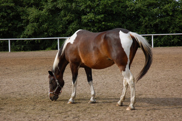 standing on paddock horse