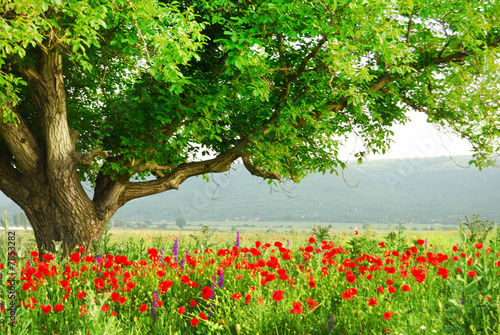 Poppy's field and big green tree - 7853282