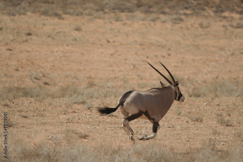 galoppierende Oryx
