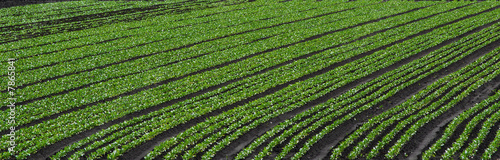 Rows in vegetable field - panoramic format