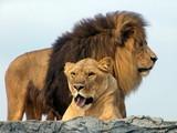 Lions, African Lion Safari poster