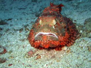 Tropical fish scorpionfish