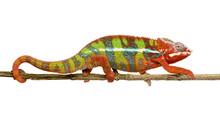 Chameleon Furcifer Wróbel - Ambilobe (18 miesięcy)