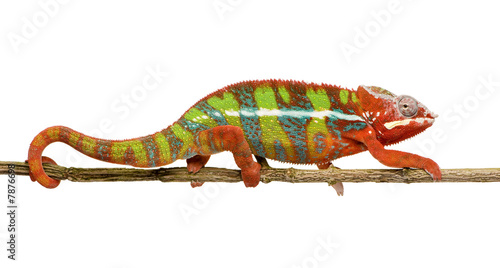 Fotobehang Kameleon Chameleon Furcifer Pardalis - Ambilobe (18 months)