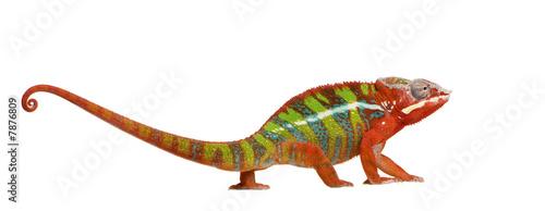 canvas print picture Chameleon Furcifer Pardalis - Ambilobe (18 months)
