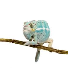 Młoda Chameleon Furcifer pardalis - Nosy Be (7 miesięcy)