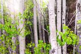 Aspen grove poster