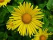 Grosse Blüte