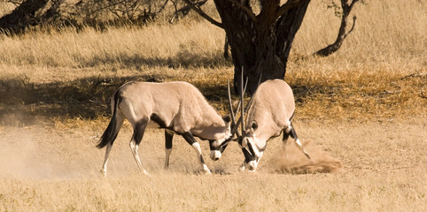 Two oryx fighting