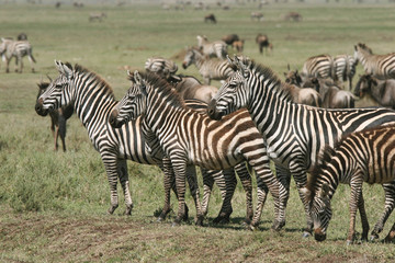 Herd of Burchell's zebras