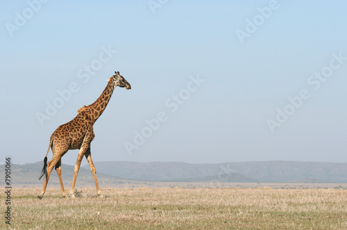 Giraffe crossing the savanna.