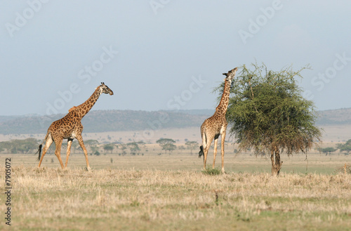 Giraffes in the savanna