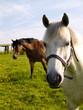 White Horse in Green Field Summer