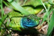 Green lizard and his beautiful eye