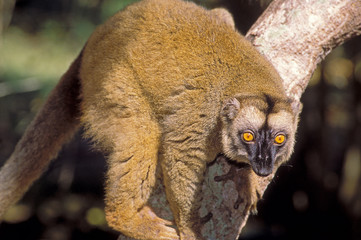 lemurien à mayotte