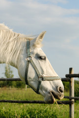 A close-up of a white horse eating grass