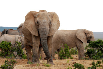 big old female elephant looking after herd
