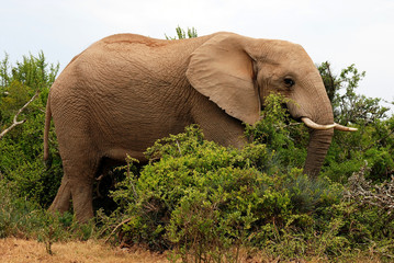 male elephant going through the bushes