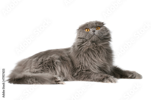 poster of fluffy cat