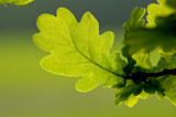 Fototapety Oak Leaves