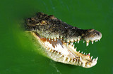 wildlife view of a swimming crocodile poster
