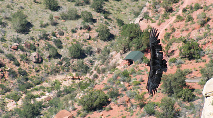 A California Condor Over Bright Angel Trail