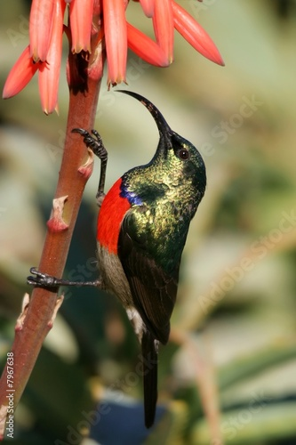 Sunbird on Aloe Plant