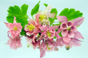 Pink flowers of aquilegia and its reflection