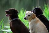 three labrador pups poster