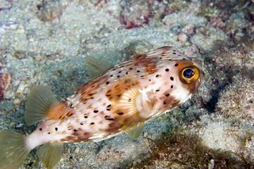 Balloonfish (Diodon holocanthus)