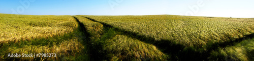 panoramic barley field