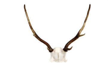 Fallow Deer antler and skull plate