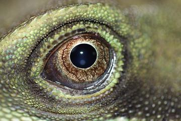 Auge einer Wasseragame