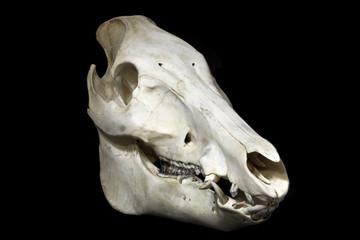 Wildschweinschädel III