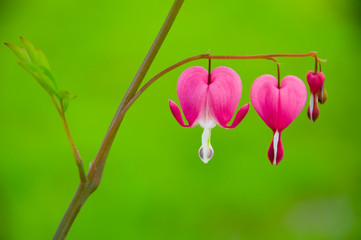 Bleeding heart flower - Dicentra spectabilis