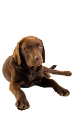 Labrador Puppy Lying Down against White Background