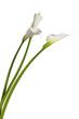������, ������: three calla lilies