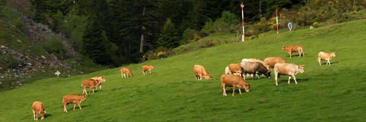 panorama de vaches