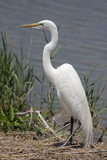 Great Egret (Ardea alba) In A Swamp poster