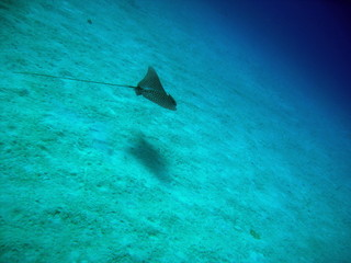 eagle ray  flying away
