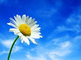 Fototapeta niebo - rumianek - Kwiat