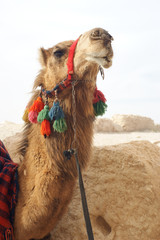 Portrait of camel