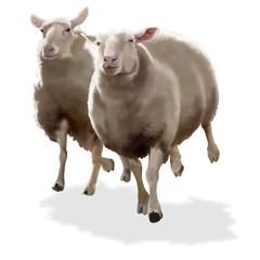 pecore in corsa
