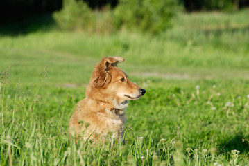 A sheltie in the grass